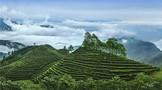 那些万元1斤的高端绿茶都被谁买走了?