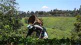玫瑰茶叶香飘东非大裂谷 肯尼亚引领全球鲜花红茶出口