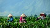 环球观茶 | 2020年各国茶叶进出口情况分析——越南篇