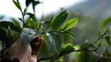 【2020年度新闻】茶行业热点新闻事件汇总