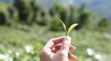 波兰成为世界第五大茶叶生产商