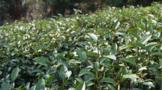 【2020年度新闻】茶行业热点新闻事件汇总(中)