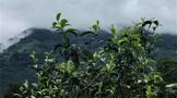 生茶张:普洱名山头或将逐渐淡化,取而代之的是制茶工艺水准