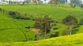 茶叶出口世界第一!这个非洲小国,是怎么做到的?