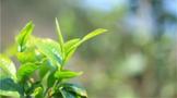 【2020年度报告】茶行业分析趋势报告汇总(上)