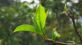【2020年度报告】茶行业分析趋势报告汇总(下)