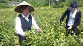 福鼎大白、白叶1号、金观音、乌牛早这些品种是否适合做成湖北绿茶研究