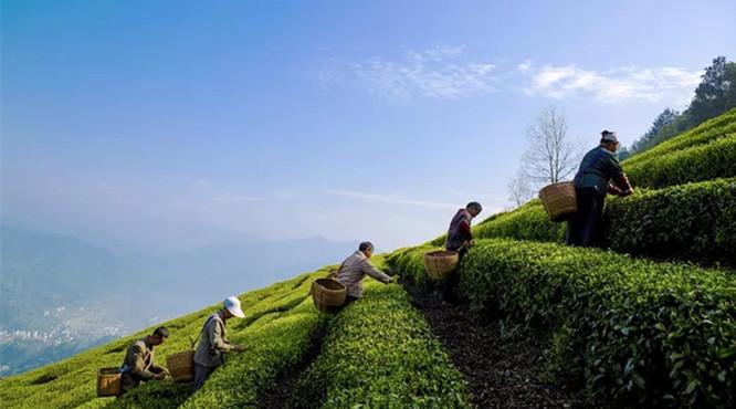 茶旅融合是否有前途?这4地用数据说话!