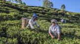 """玛娜有机茶与可持续发展:""""不仅仅是高品质、符合伦理的有机茶"""""""