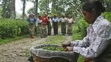 茶叶生产过剩和价格低迷困扰印度茶业