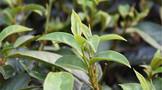 2020年中国茶叶种植行业市场现状及发展前景分析