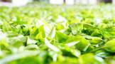 环球观茶 | 斯里兰卡2020年茶叶生产、进出口数据分析