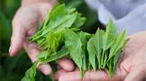 来源于你正在喝的茶:茶氨酸肽合成新型抗菌剂