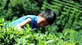 欢迎来雅安市雨曦农业发展有限公司进行茶叶采摘体验