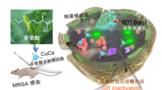 我国科学家用茶氨酸合成新型抗菌材料