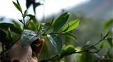 2021年中央一号文件中的茶业发展新信号:国茶振兴步入新阶段