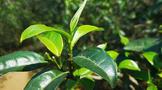2021年易武高山寨古树普洱春茶价格多少钱