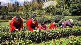 四川丹棱:春茶飘香致富路 产业兴旺振乡村