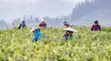 重庆南川:抢采高山云雾茶