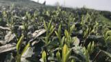 3月4日,松道艶茶拟釆摘2021首批次春茶
