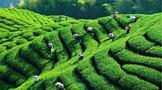 2020年印度茶叶价格创历史新高、肯尼亚茶叶收入飙升至10.9亿美元