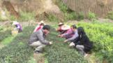 广东省农科院茶研所联手华顺农林,建设茶树育繁推一体化示范基地