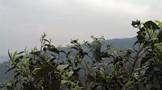 春茶季 双江勐库镇大雪山茶树