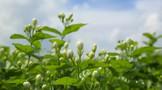 刘仲华:茉莉花茶产业概况与创新发展
