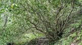 巴山古茶树遗存及其断想