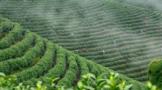 杭州淳安:云雾深处 高山茶园采春茶