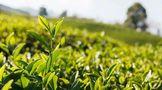 泡绿茶讲方法,才有好香气和好滋味