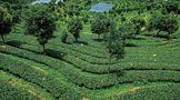 台地茶发展简史