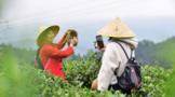 贵州丹寨种植茶叶 茶产业助力乡村振兴