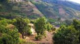 临沧云县发挥古茶树资源 全面推进茶产业高质量发展