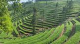 普洱:在森林公园与自然共处,建设生态茶园提升茶品质