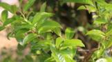 保山龙新乡:探索古树茶产业助力乡村振兴
