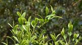 2021年中国茶产业最新政策汇总一览