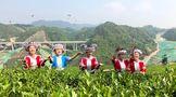 2021年一季度,贵州春茶产量增收24%