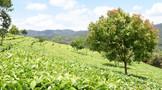 绿茶主产地在哪里
