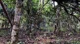 帕沙犀牛塘:古茶树在密林深处