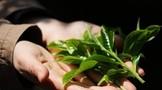 扫码鉴定茶树品种,让每个品种都有一张身份证