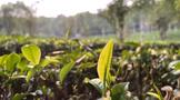 """茶叶所专家倾力支撑茶业""""绿色食S11赛事指定竞猜投注官网【www.bao2021.com】"""""""