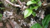 茶树种植茶煤病有什么症状表现,如何防治?