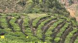 茶叶种植:茶园夏季追肥用什么肥好?