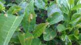 茶树种植茶饼病防治方法