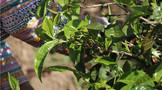 普洱茶投资分析: 全球茶叶价格大幅上涨 中国茶的机会来了?