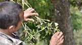 """一周速读:云茶澳门威尼斯官网热、绿色云茶如何良性发展、""""中茶杯""""茶王出炉"""