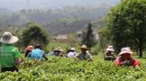 村集体经济看思茅 茶产业让倚象镇平掌村绿了山坡红了日子