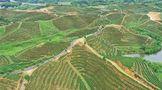 以茶促旅 以旅兴茶 桃江华莱茶旅一体化项目投资3.8亿元