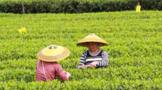 中国西部茶海湄潭